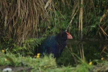 Einer der Takahe in der Vogelschutzstation in Te Anao