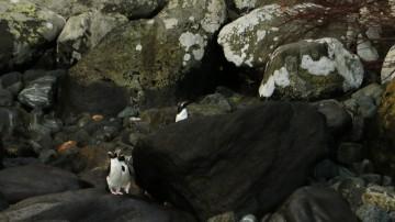 Fiordland Pinguine