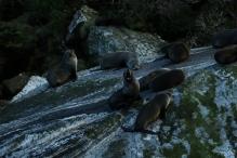 Seelöwen
